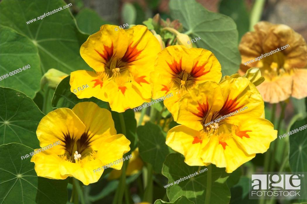 Stock Photo: Nasturtium Tropaeolum flowering in garden, summer border, Norfolk, England, june.