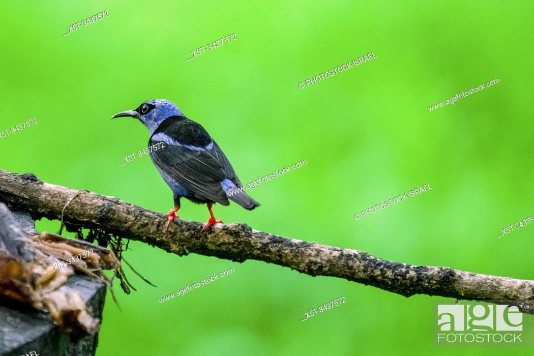 Stock Photo: Red-legged honeycreeper (Cyanerpes cyaneus) male. This small songbird is found in the tropics from southern Mexico to northern South America.