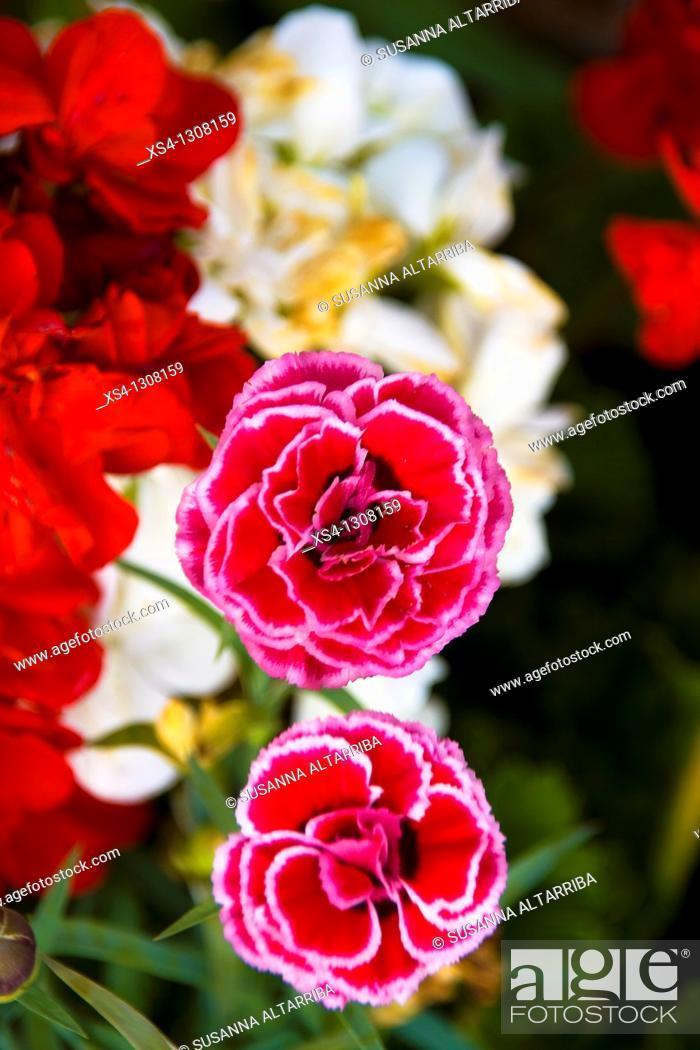 Stock Photo: Dianthus caryophyllus, Carnation.