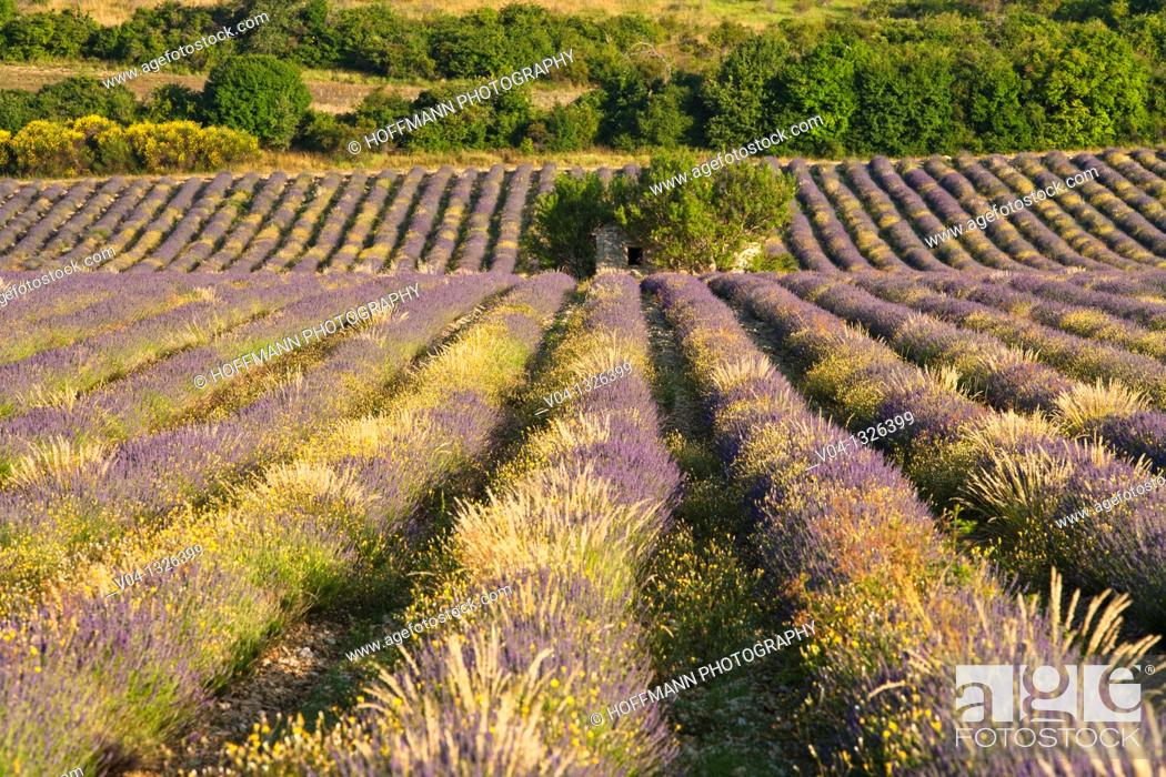 Stock Photo: Lavender field in Provence, France, Europe.