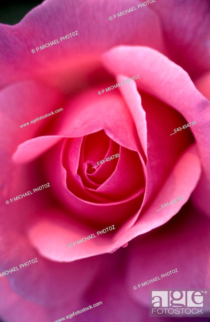 Stock Photo: Pinkish red rose.
