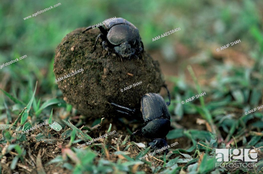 dung beetles scarabaeidae or scarab beetles rolling ball of dung