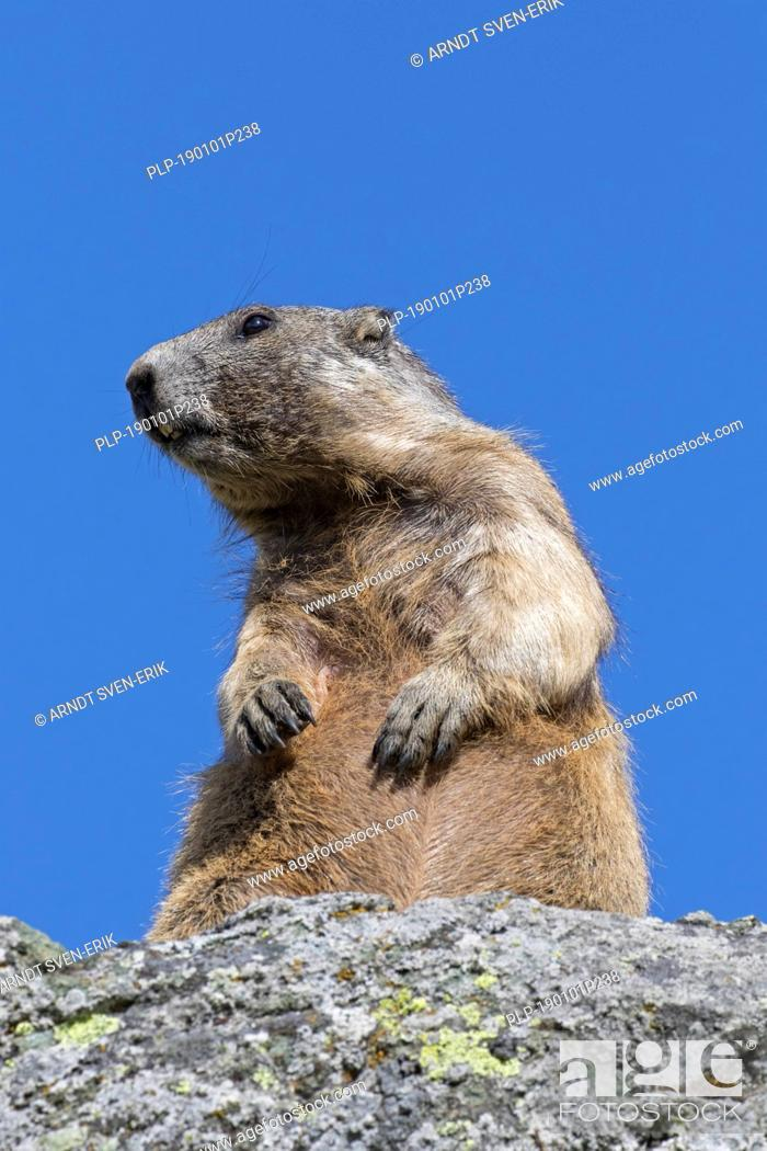 Stock Photo: Alpine marmot (Marmota marmota) standing upright on rock in summer, Hohe Tauern National Park, Carinthia, Austria.