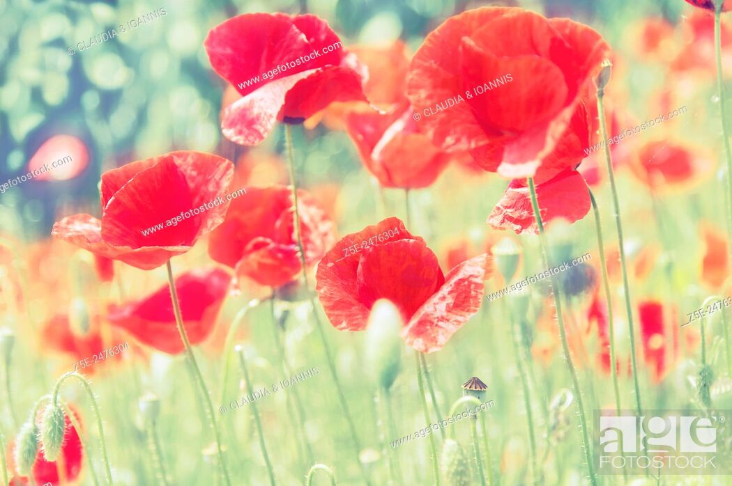 Stock Photo: Low angle view of red poppies (Papaver rhoeas).
