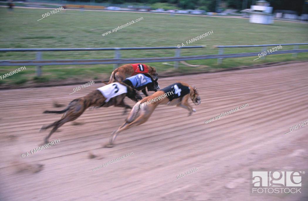 Stock Photo: Greyhound racing. Stockholm. Sweden.