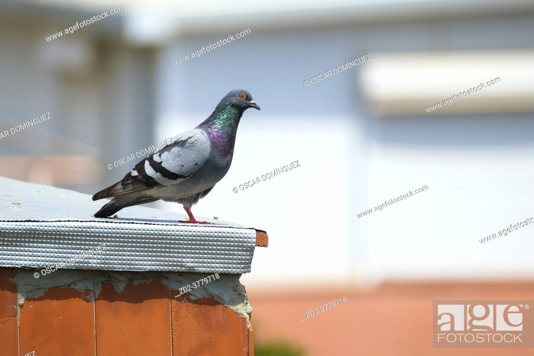 Stock Photo: Feral pigeon (Columba livia domestica) perched on a rooftop. Barcelona. Catalonia. Spain.