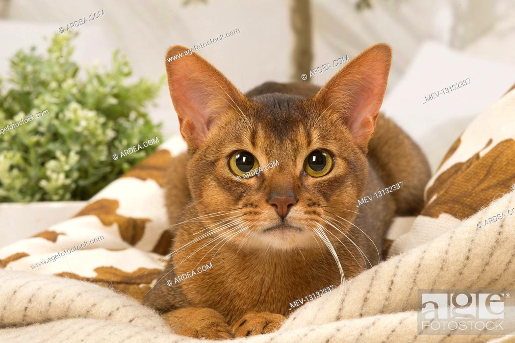 Stock Photo: Abyssinian cat indoors.