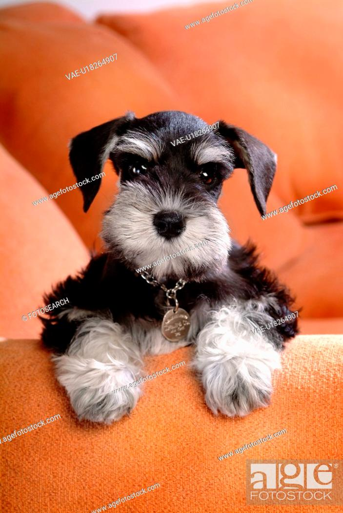 Stock Photo: loving, schnauzer, puppy, canines, domestic, miniature schnauzer.