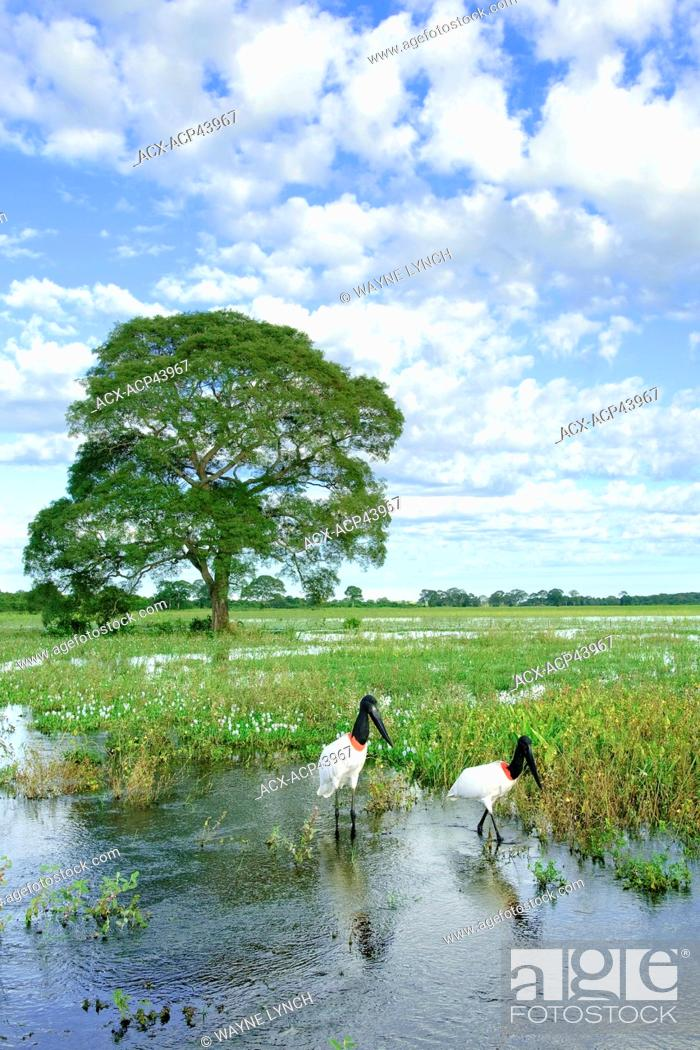 Stock Photo: Adult jabiru stork Jabiru mycteria, Pantanal wetlands, Southwestern Brazil, South America.