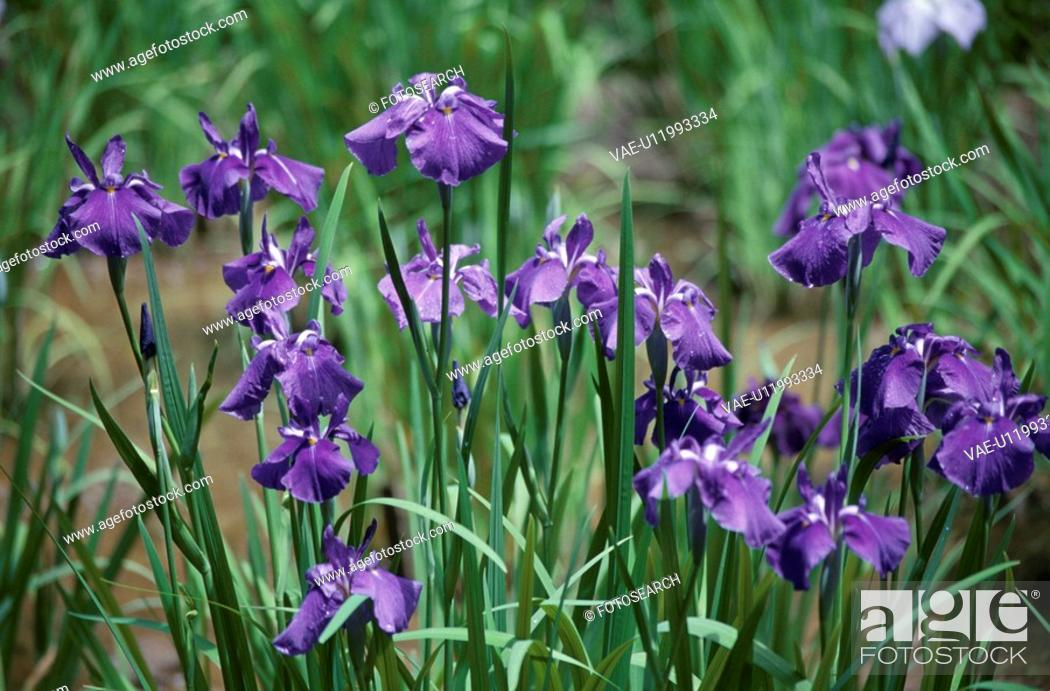 Stock Photo: Japanese Iris.
