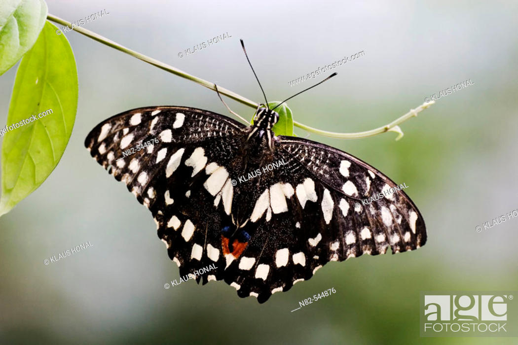 Stock Photo: Lime Swallowtail (Papilio demoleus) on small leaf.