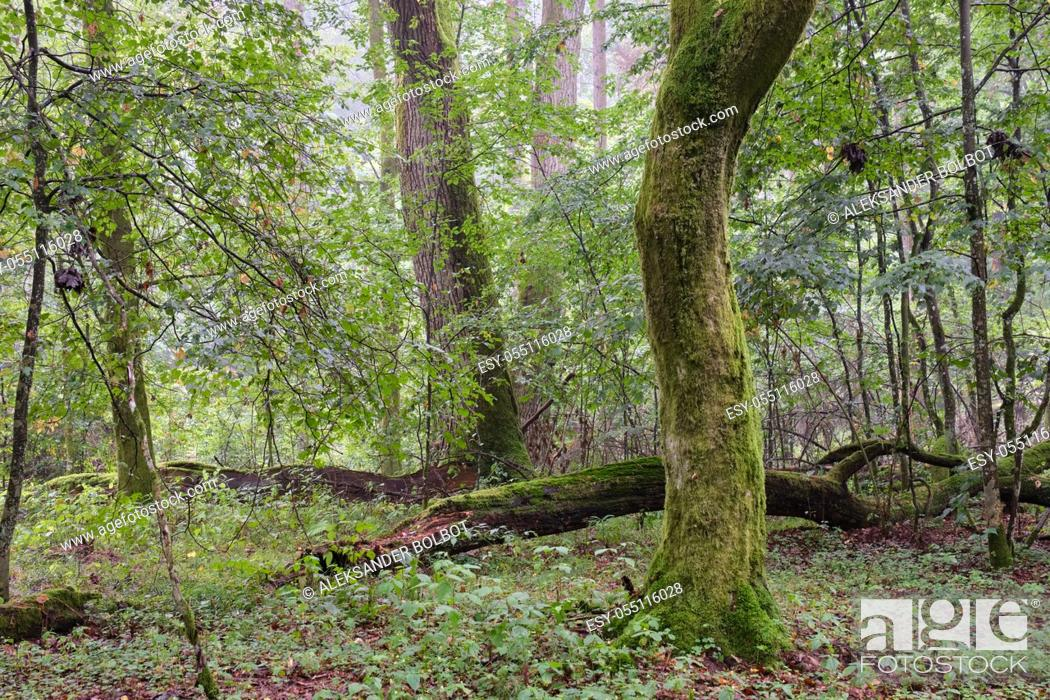 Stock Photo: Deciduous stand with hornbeams and oak in summer, Bialowieza Forest, Poland, Europe.
