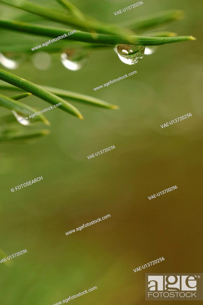 Stock Photo: detail, pines, pine, moist, humidity, humid.