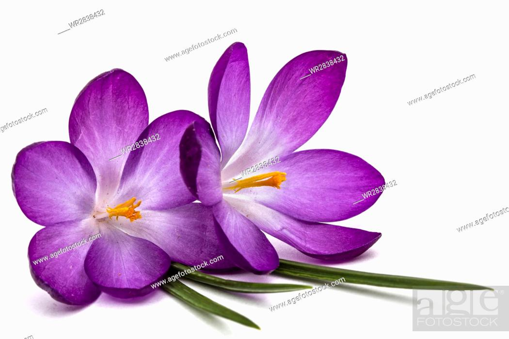 Purple flowers of crocus, isolated on white background, Stock Photo ...