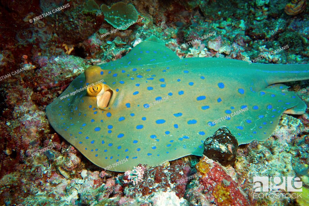 Stock Photo: Blue spotted Ray, Raja Ampat, Papua, Indonesia, Southeast Asia.