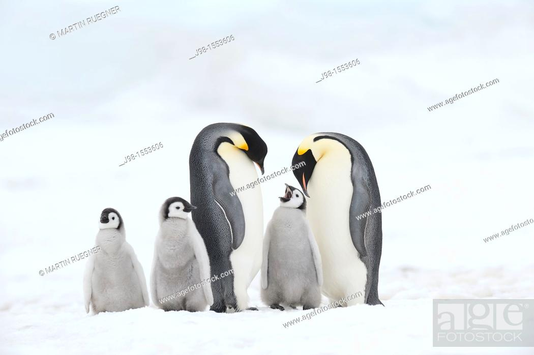 Stock Photo: Emperor Penguin Aptenodytes forsteri, chick and adults  Snow Hill Island, Antarctic Peninsula, Antarctica.
