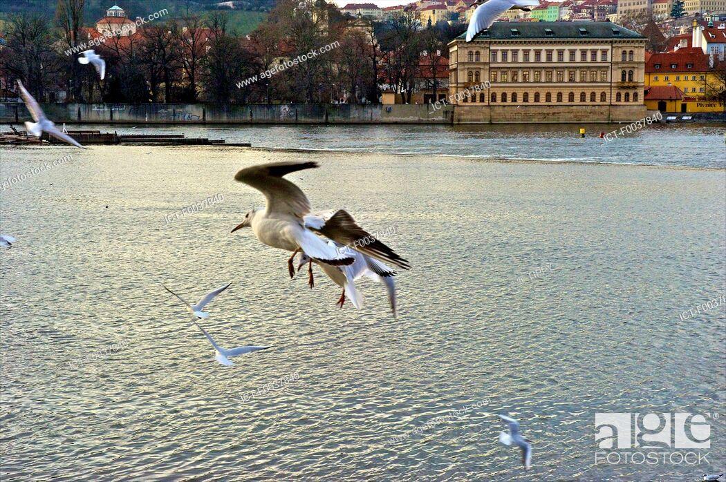 Stock Photo: Czech Republic, Prague, Vltava, seagulls.