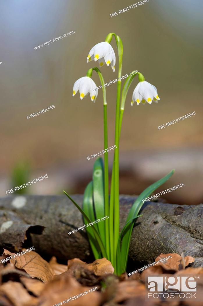 Photo de stock: Spring Snowflake, Leucojum vernum, Germany / Großes Schneeglöckchen, Leucojum vernum, Deutschland.