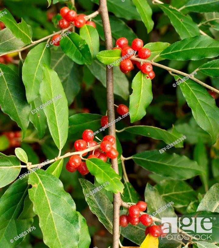 Stock Photo: Ripe Autumn Olive Berries (Elaeagnus Umbellata) growing on a branch.