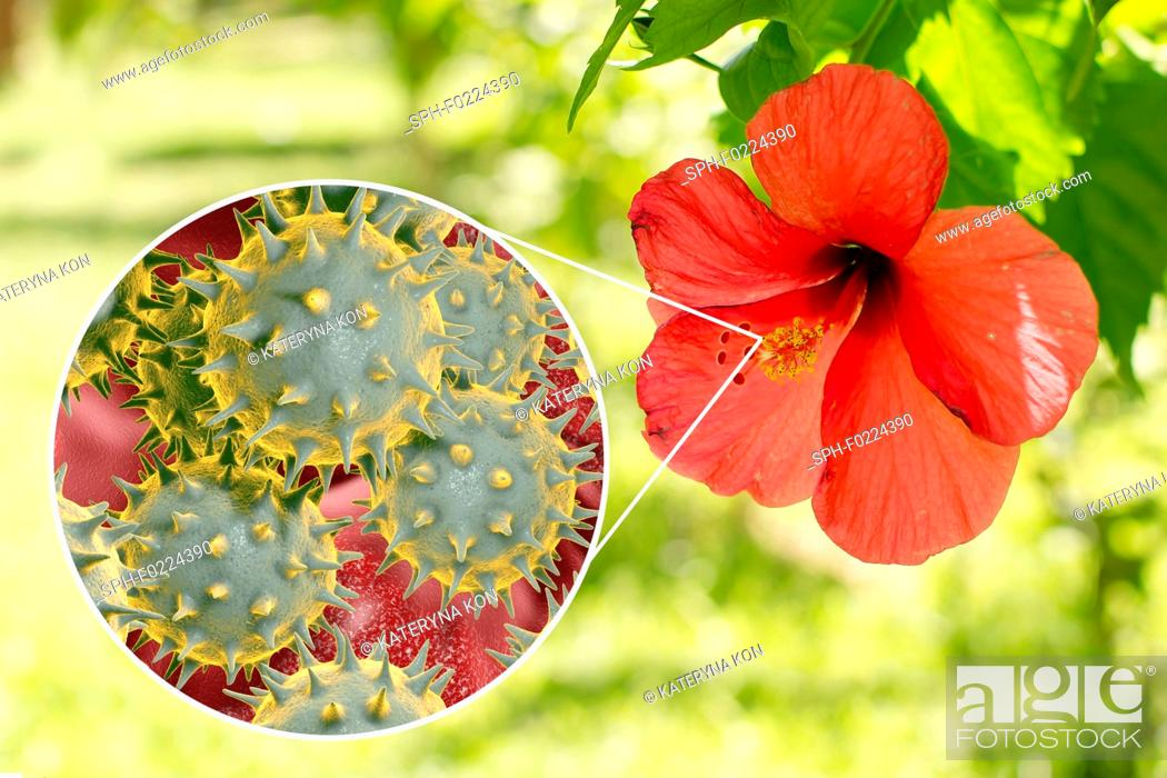 Stock Photo: Hibiscus flower and pollen grain, composite image.