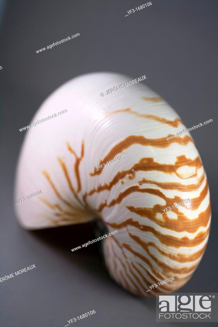 Stock Photo: Nautilus, Nautilus pompilius.