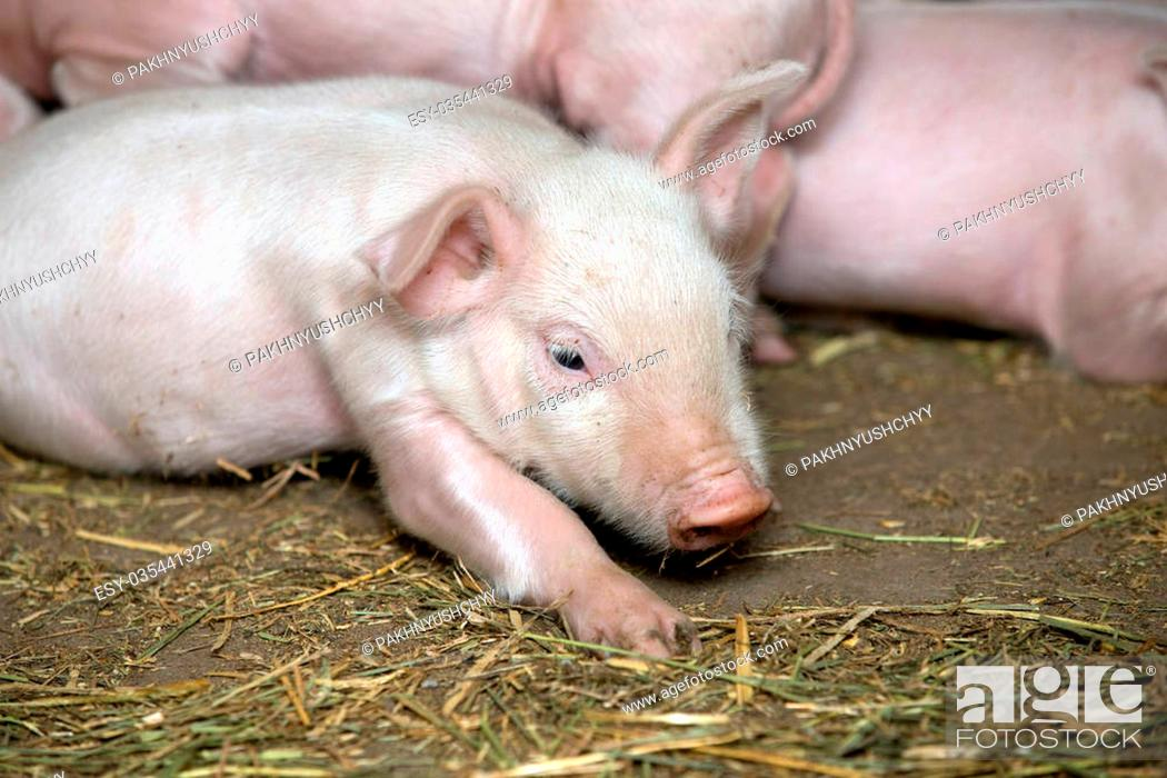 Stock Photo: Little piglets suckling their mother.