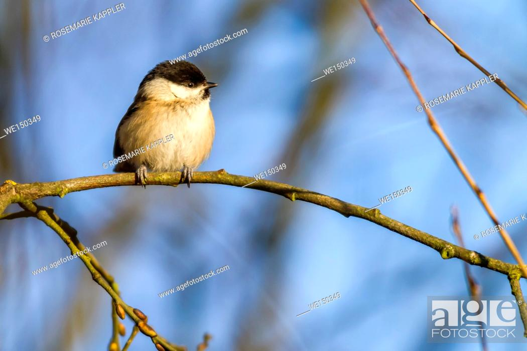 Stock Photo: germany, saarland, dillingen - A marsh tit is searching for fodder.