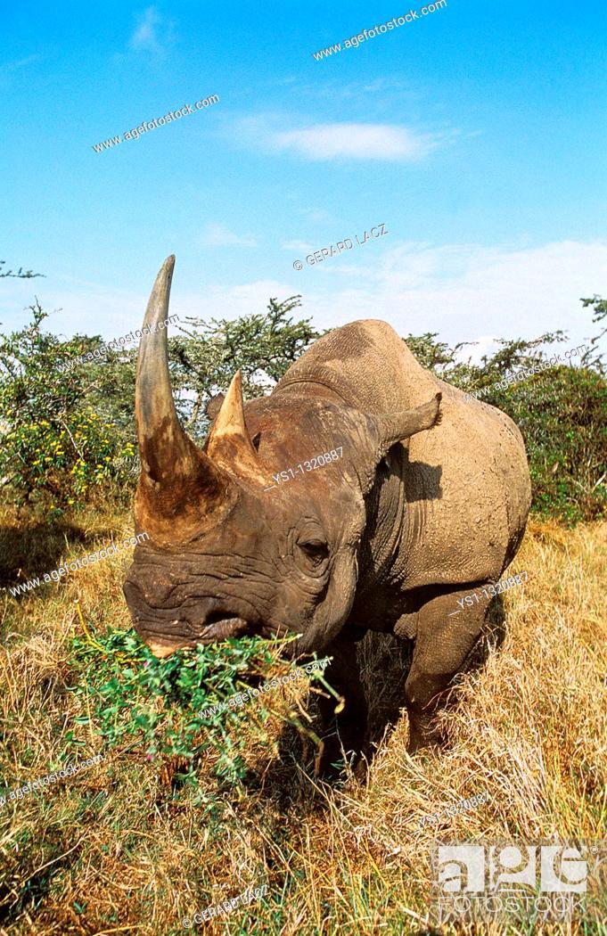 Stock Photo: BLACK RHINOCEROS diceros bicornis, ADULT FEEDING, KENYA.