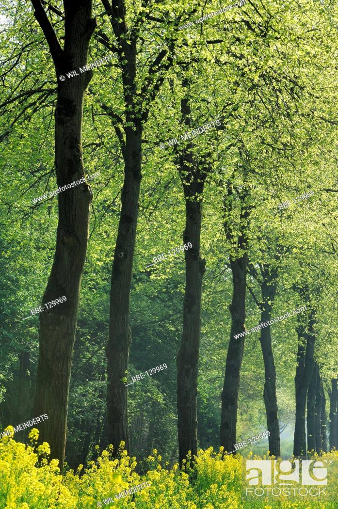 Stock Photo: Large-leaved Linden trees with springtime leaves.