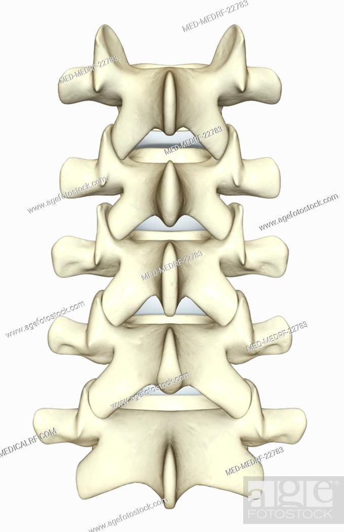 Stock Photo: The lumbar vertebrae.
