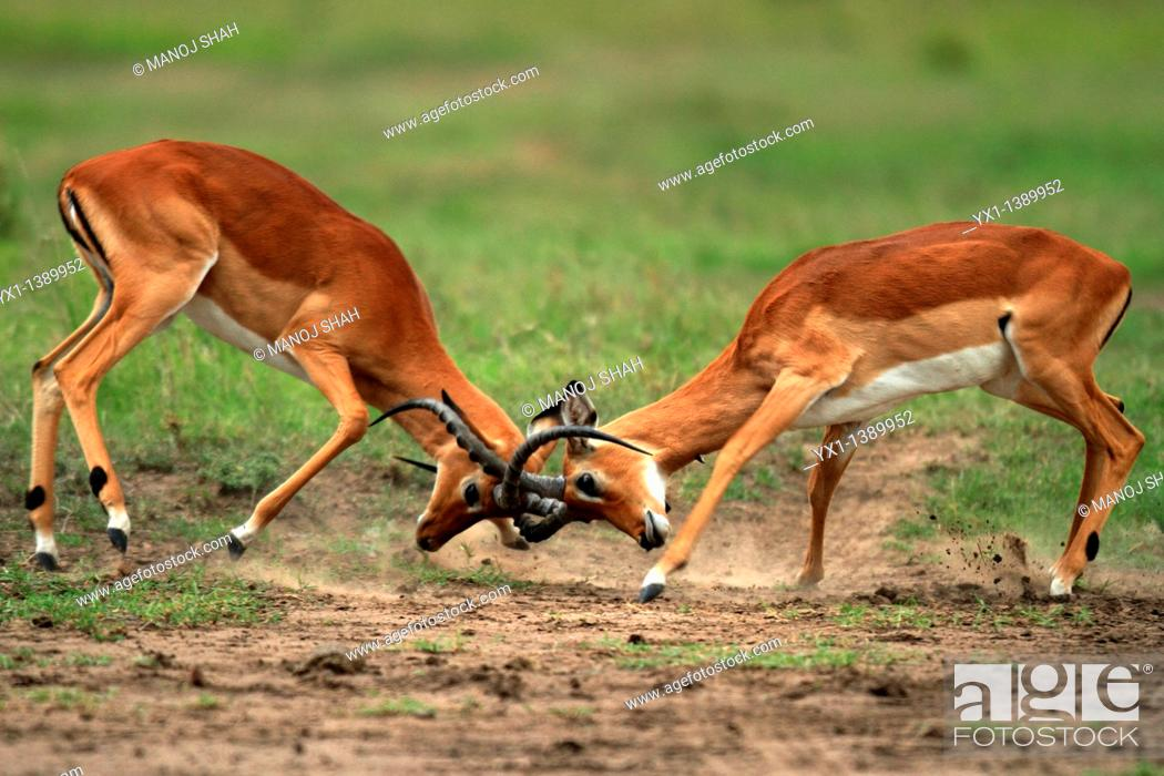 Stock Photo: Impalas: during the rutting season, males fight fiercely for possession of females, Maasai Mara Game Reserve, Kenya.