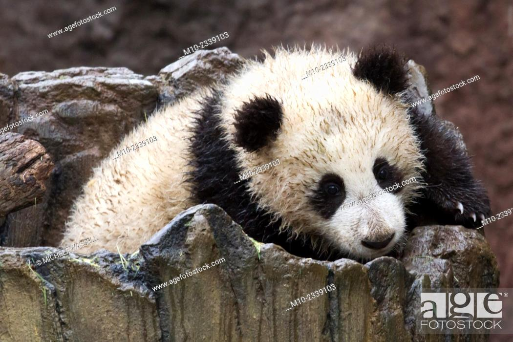 Stock Photo: Young Giant Panda moving around in its log.