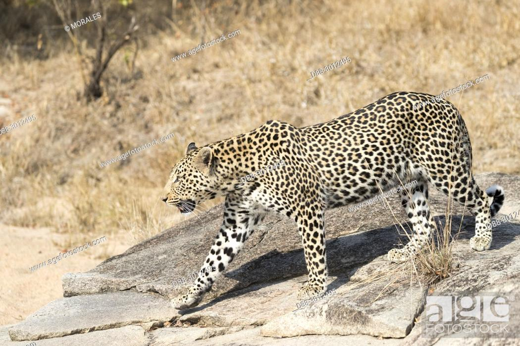 Stock Photo: Africa, South African Republic, Mala Mala game reserve, savannah, African Leopard (Panthera pardus pardus), walking on the ground.