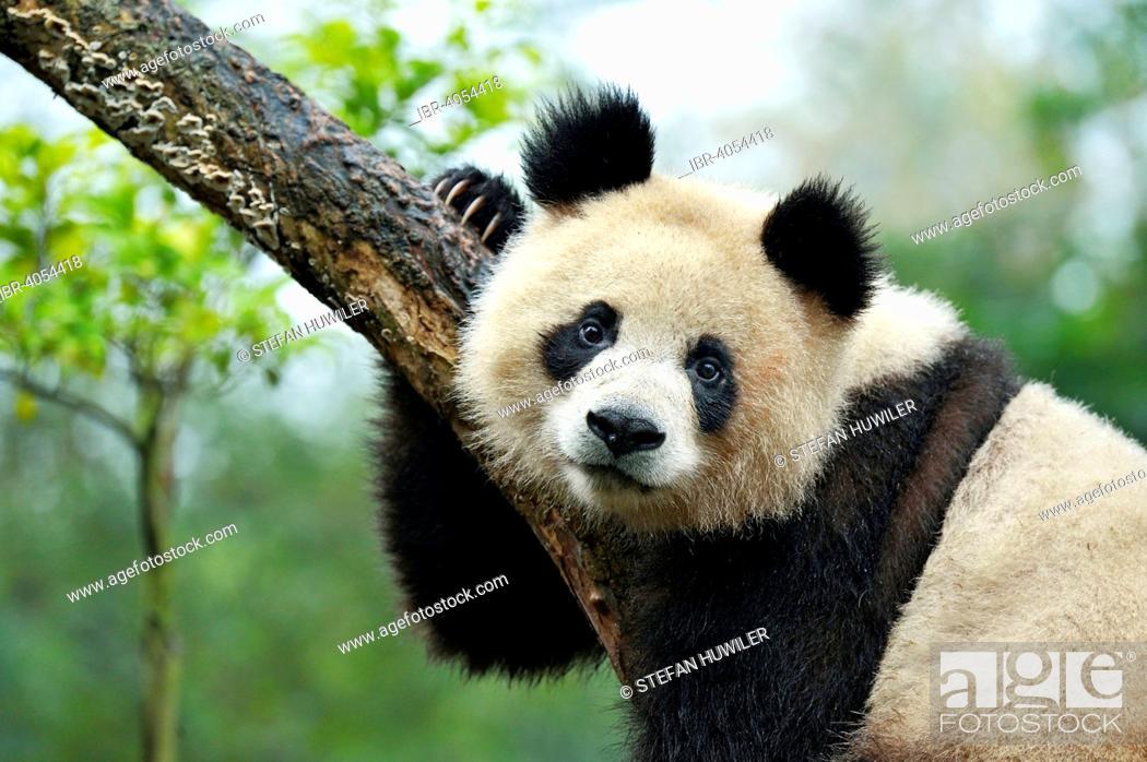 Stock Photo: Giant Panda (Ailuropoda melanoleuca) perched on a tree, captive, Chengdu Research Base of Giant Panda Breeding or Chengdu Panda Base, Chengdu, Sichuan, China.