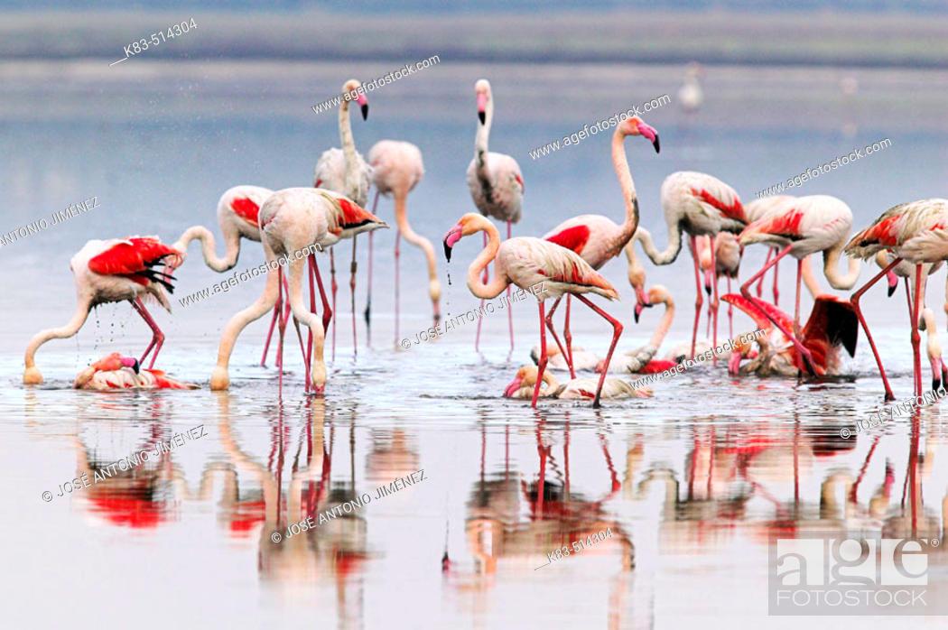 Stock Photo: Greater Flamingo (Phoenicopterus ruber). Fuente de Piedra pools, Málaga province. Andalusia, Spain.