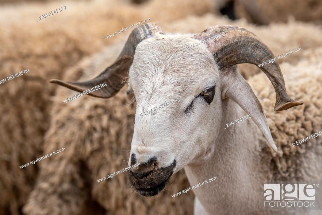 Stock Photo: Sheep for sale at Market -Guelmim, Guelmim province, Morocco.