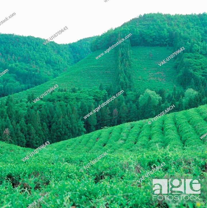 Stock Photo: scenery, mountain, greentea, greentea, field, background.