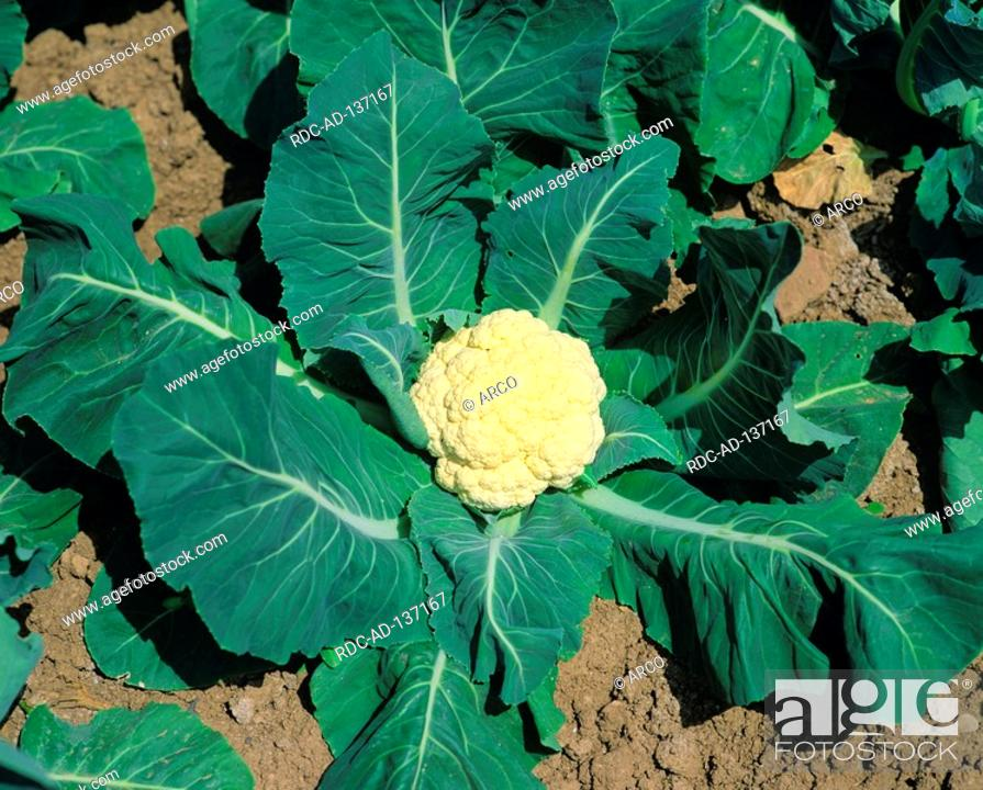Stock Photo: Cauliflower Brassica oleracea var botrytis.