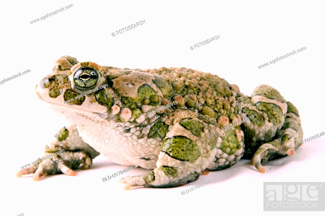 Stock Photo: animals, bufonidae, alfred.