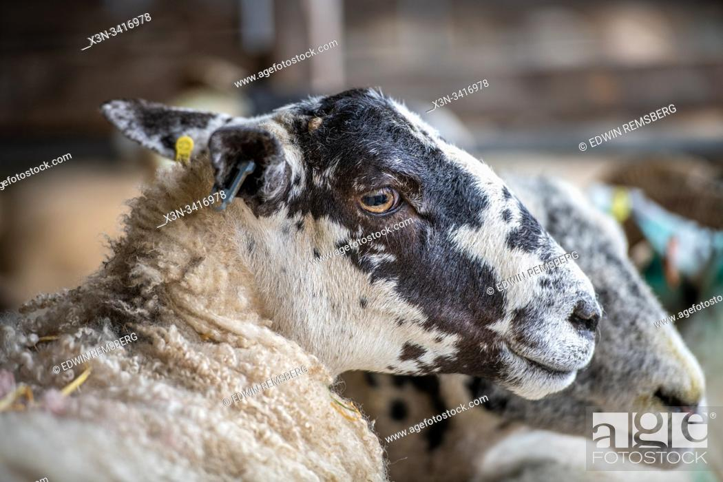 Stock Photo: Sheep gathered to be sold at auction, Hawes, Yorkshire, UK.