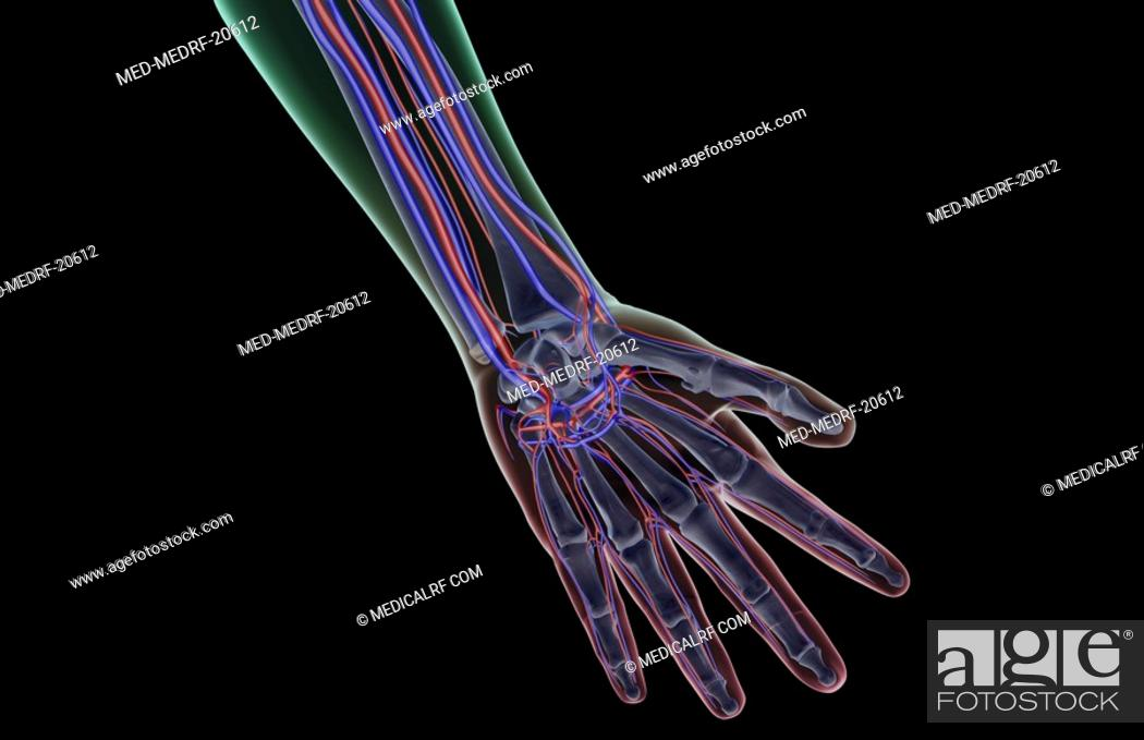 Stock Photo: The blood supply of the hand.