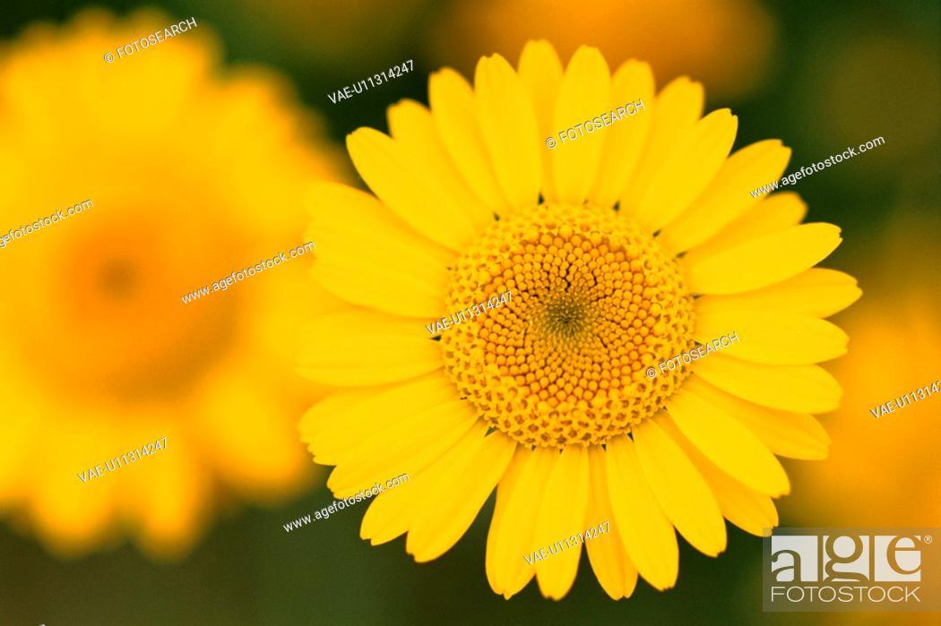 Stock Photo: Yellow Daisy.