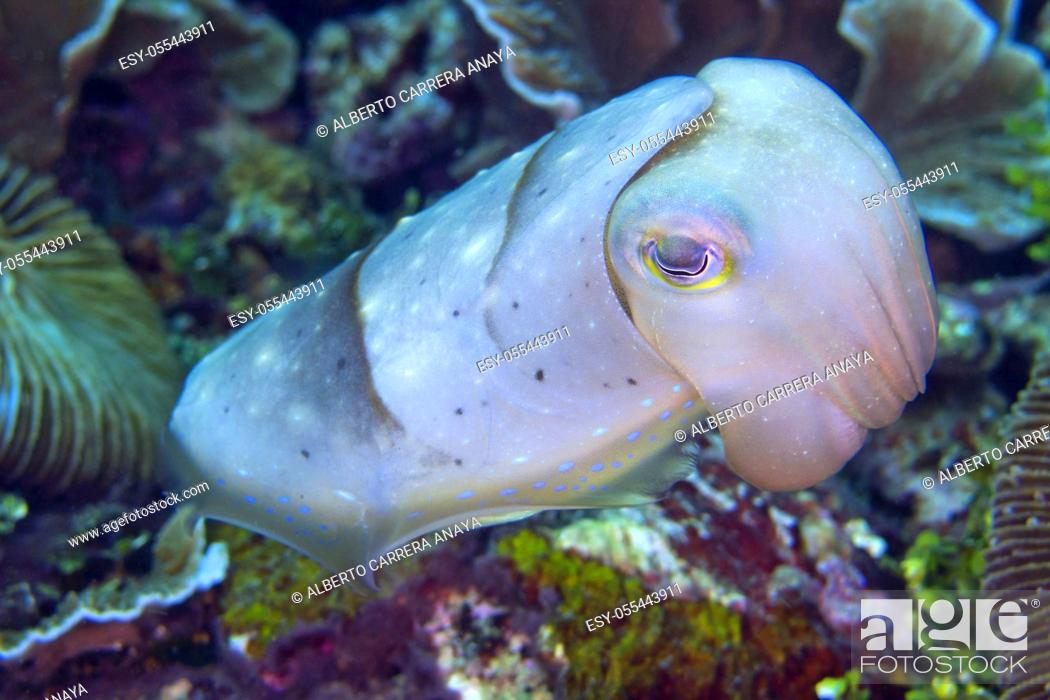 Imagen: Cuttlefish, Sepia sp. , Lembeh, North Sulawesi, Indonesia, Asia.