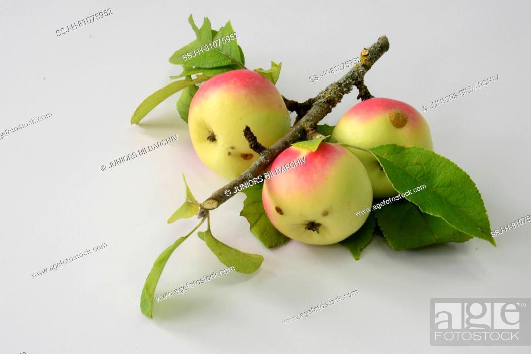 Common Crab Apple, Wild Crab Apple (Malus sylvestris)  Twig