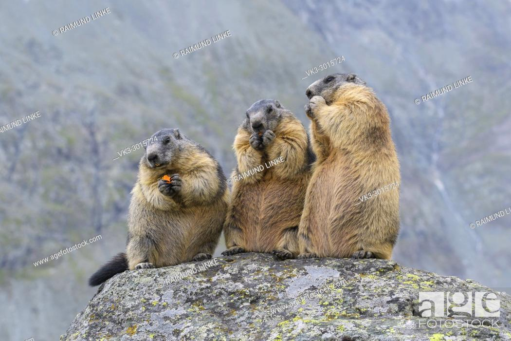 Photo de stock: Alpine Marmot, Marmota marmota, three animals, Hohe Tauern National park, Austria.