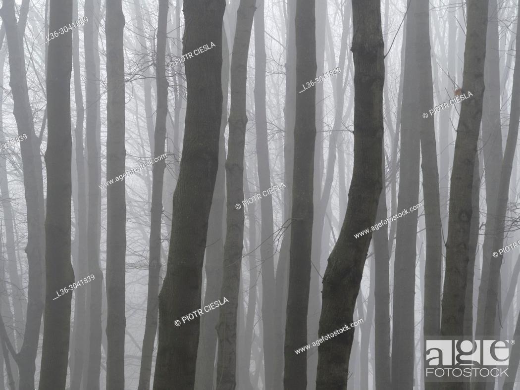 Stock Photo: Poland. Trees in fog.