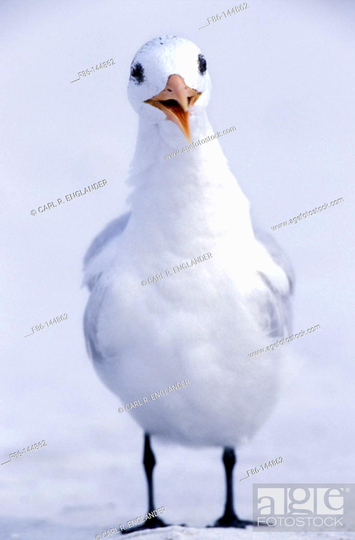 Stock Photo: Royal Tern (Sterna maxima). Florida. USA.
