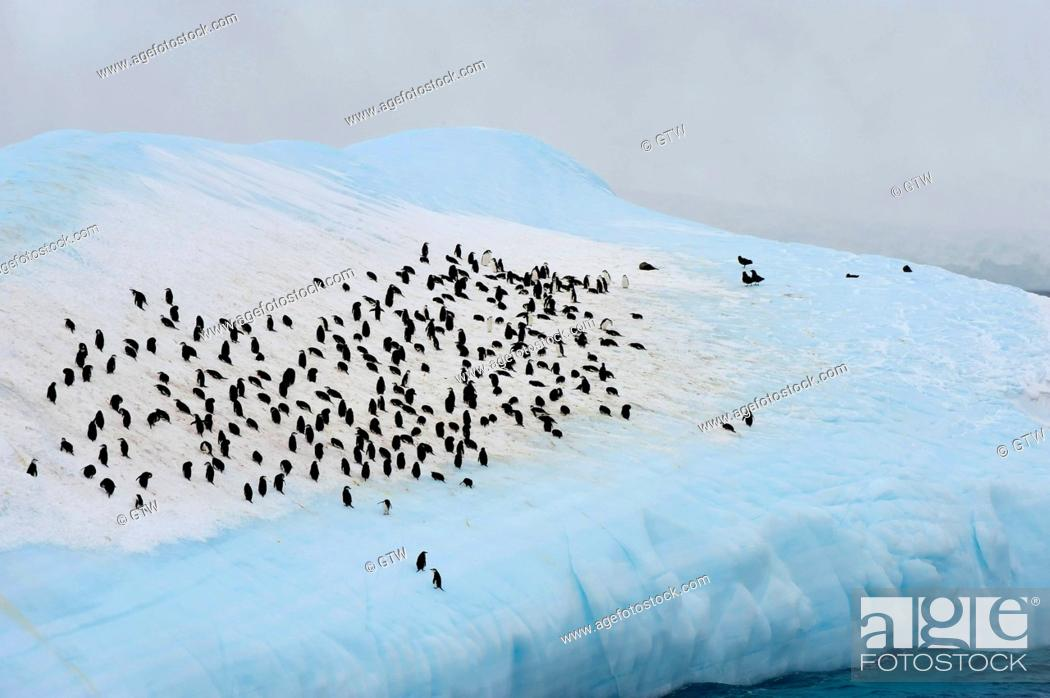 Imagen: Group of Chinstrap penguins (Pygoscelis antarctica) congregated on an iceberg, South Orkney Islands, Antarctica.