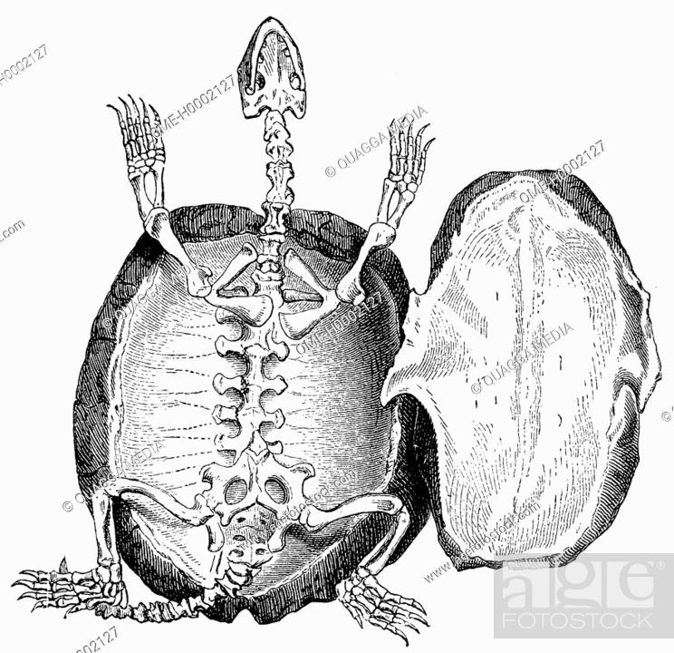 Tortoise Skeleton Stock Photo Picture And Rights Managed Image