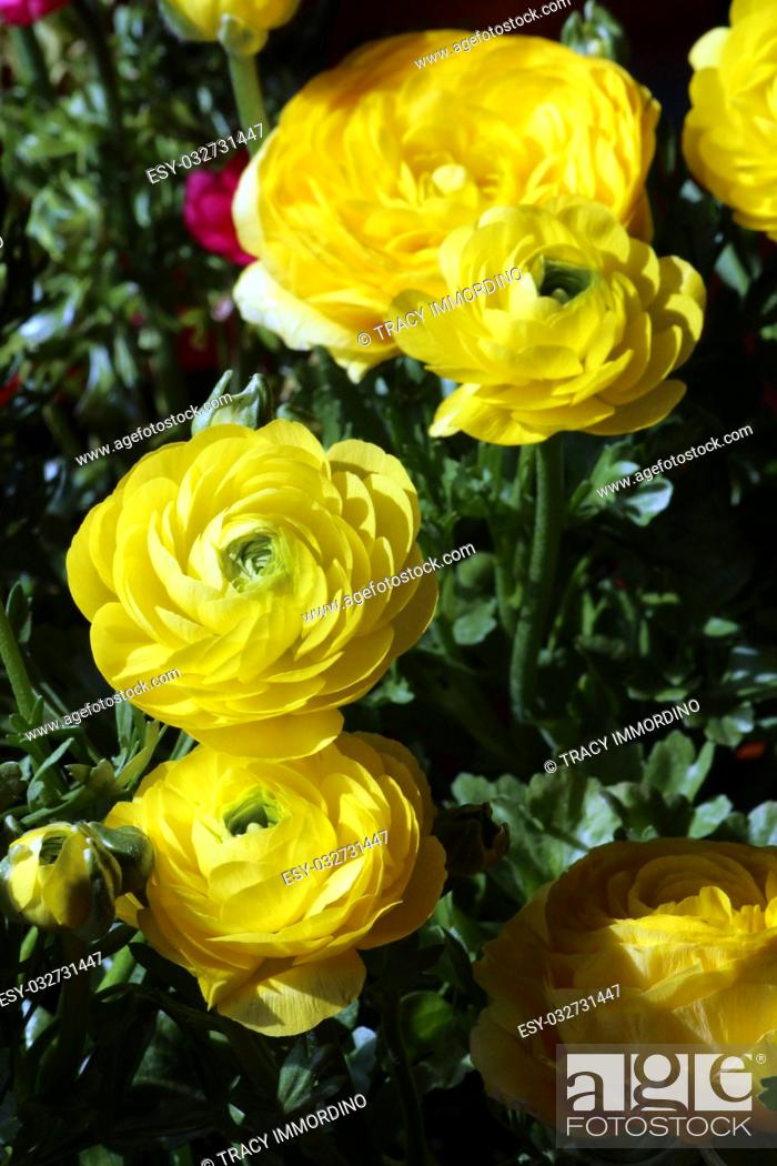 Stock Photo: A cluster of yellow Ranunculus flowers in varying stages of bloom.